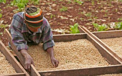 Kawy afrykańskie